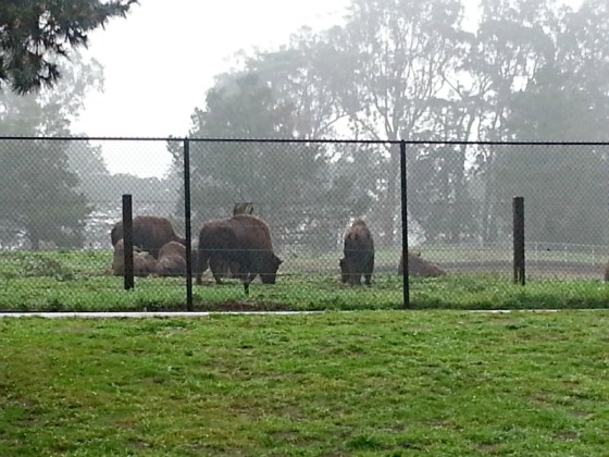 Buffalo Golden Gate Park San Francisco