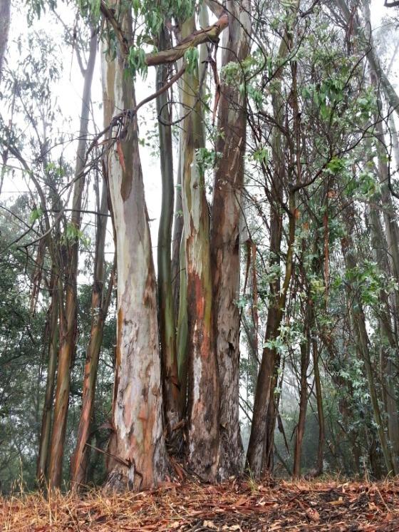 Joaquin Miller Park Eucalyptus Trees