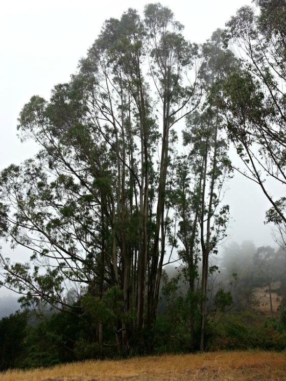 Joaquin Miller Park Oakland Eucalyptus Trees