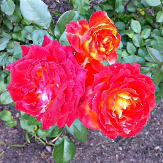 Rose Garden Oakland California CA